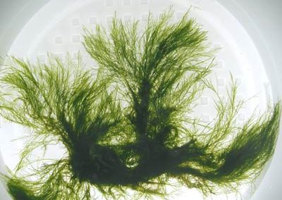 bryopsis_corticulans_1