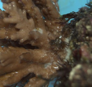 damage_done_by_acropora_eating_flat_worm-300x285